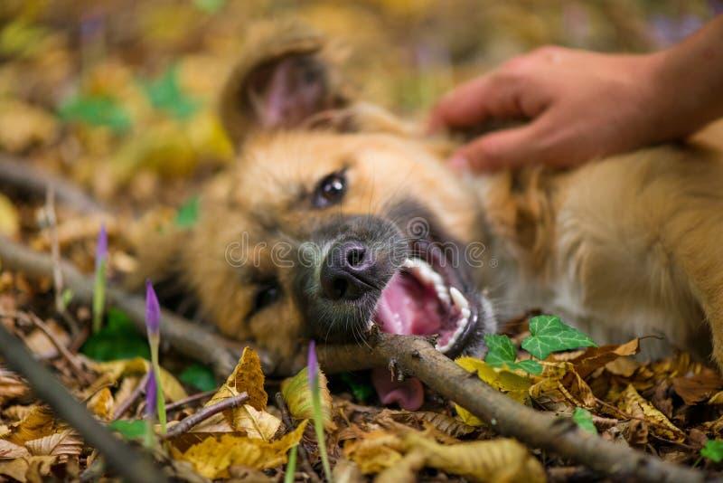Glücklicher Hund, der auf dem Boden im Wald und durch seinen Eigentümer während des Herbstes fotografiert legt stockfotografie