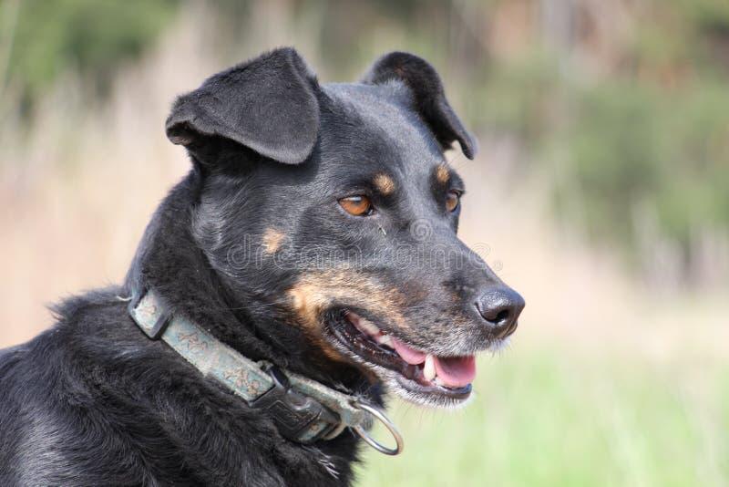 Glücklicher Hund, der auf seinen Meister wartet stockfoto