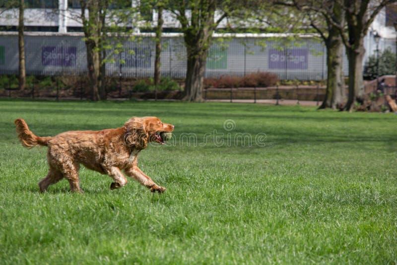 Glücklicher Hund, der mit einem Tennisball läuft lizenzfreie stockfotos