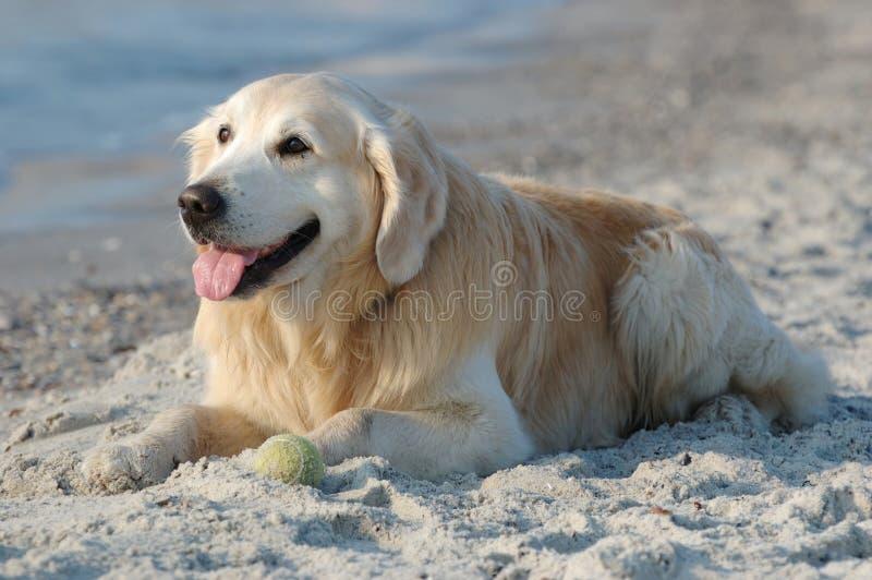 Glücklicher Hund des goldenen Apportierhunds am Strand stockfoto