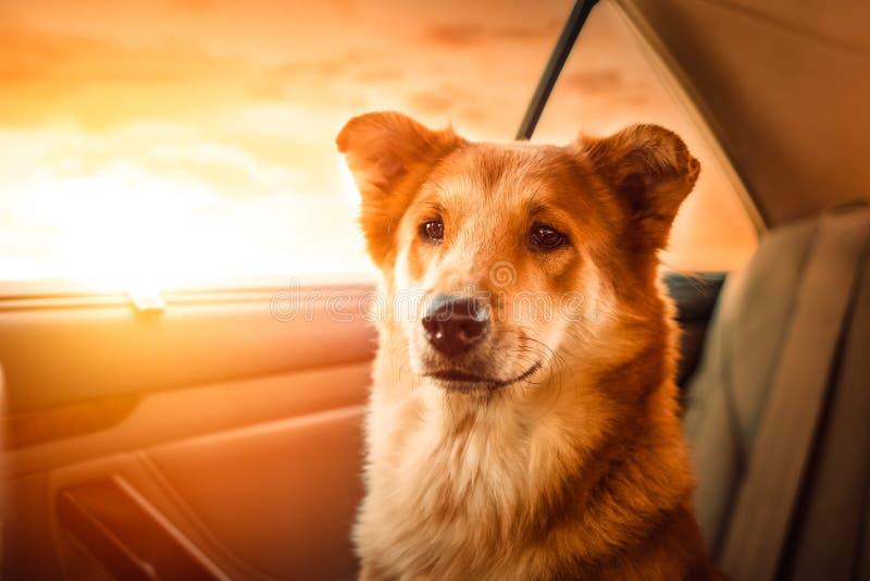 Glücklicher Hund des Porträts A, der in das Auto reist lizenzfreie stockbilder