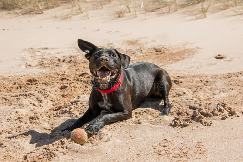 Glücklicher Hund am Strand mit Ball lizenzfreie stockfotos
