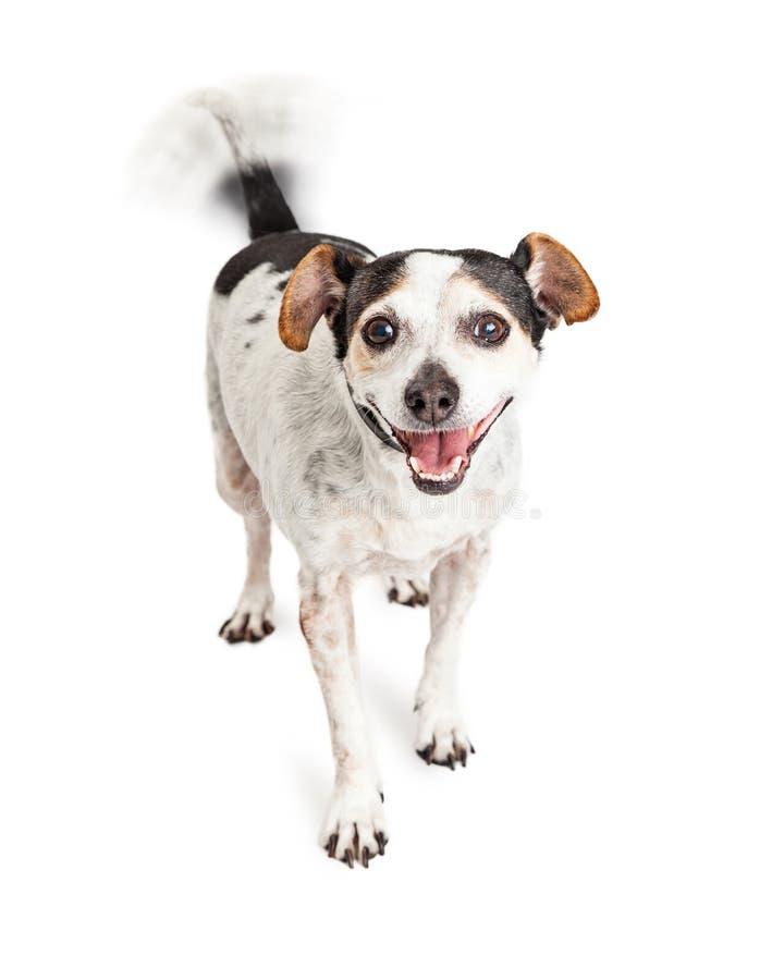 Glücklicher Kreuzungs-Hund, der Endstück wedelt stockfotos