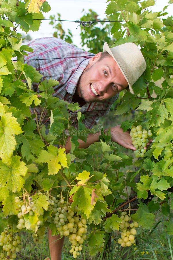 Glücklicher Landwirt unter den Traubenreihen stockfoto