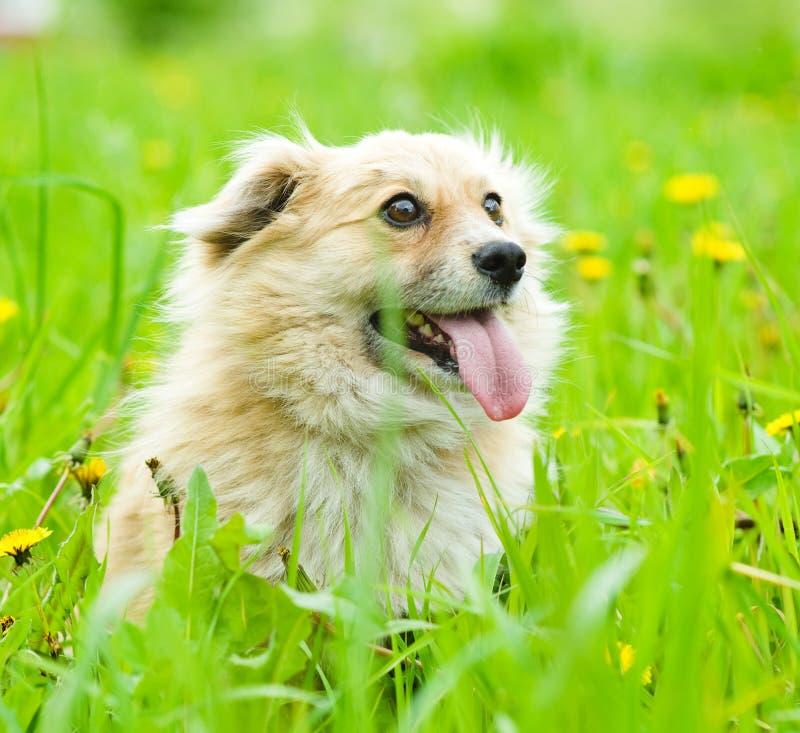 Glücklicher Mischzuchthund auf dem Blumengebiet des gelben Löwenzahns lizenzfreies stockfoto