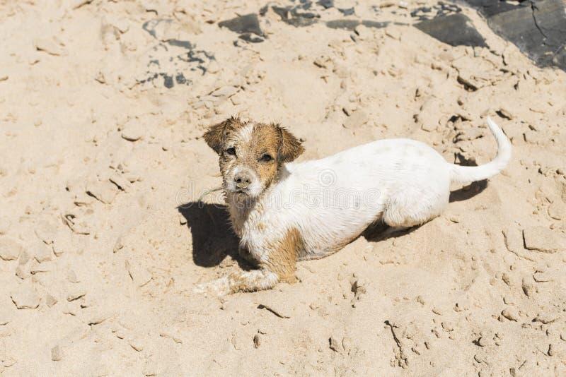 glücklicher netter junger kleiner Hund, der Spaß am Strand hat Bedeckt im Sand sommerzeit feiertage Haustiere drau?en lebensstil lizenzfreie stockfotografie