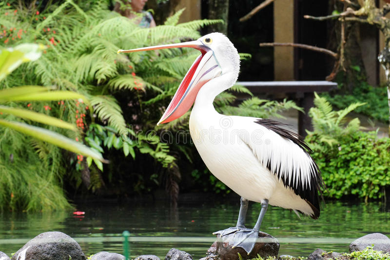 Glücklicher Pelikan des Pelikans A, mouth weit offenes und Stellung auf einer Anhäufung, ist über sein Morgenfest von Fischen in  lizenzfreie stockbilder