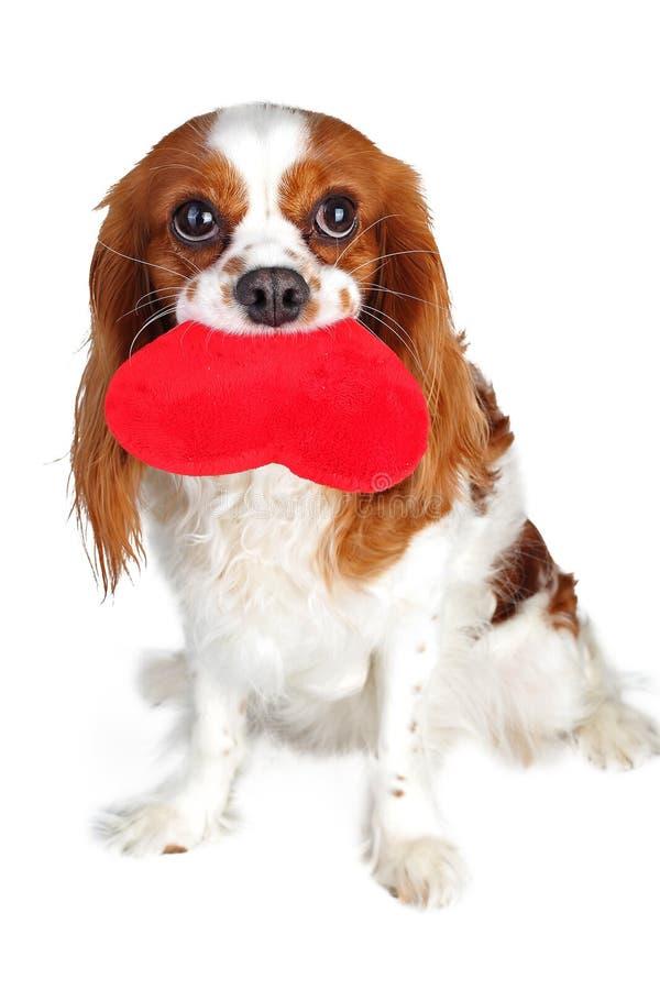 Glücklicher Tag des Valentinsgruß-s Welpe mit Herzen Unbekümmertes Spaniel-Liebeskonzept Königs Charles Rotes Herz des Plüschs mi stockbild