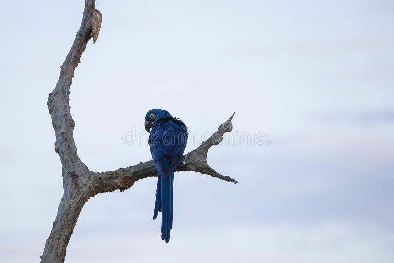 Glücklicher und wilder Hyacinth Macaw Perched auf bloßer Niederlassung lizenzfreies stockfoto