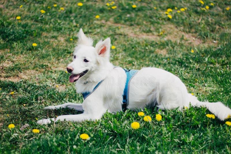 Glücklicher weißer flaumiger Hund auf gelber Blumenrasenfläche stockfoto