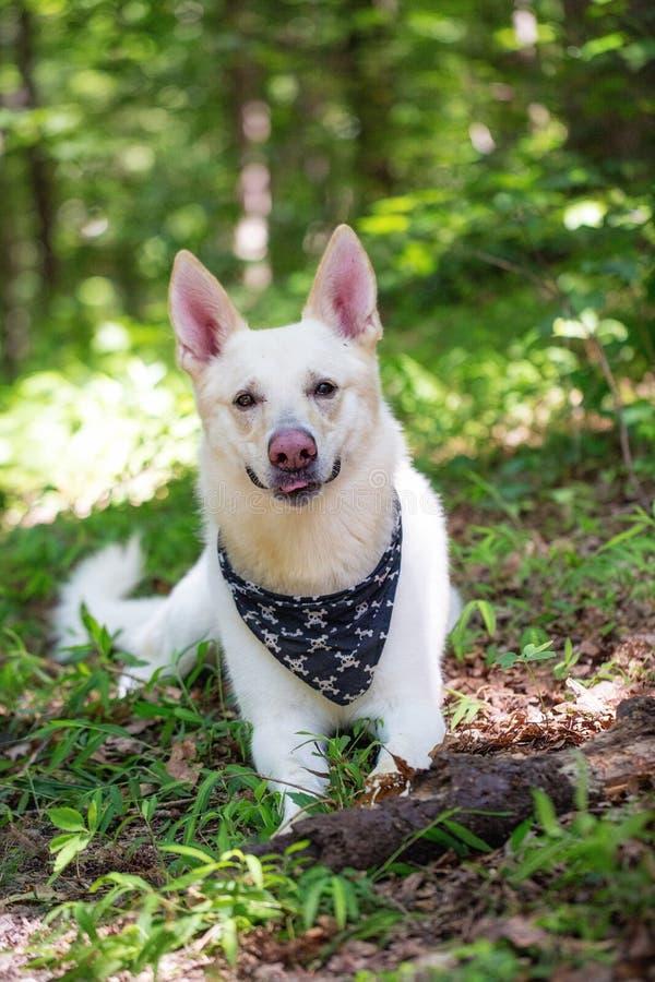 Glücklicher weißer Schäfer Dog Lying im Holz stockfoto