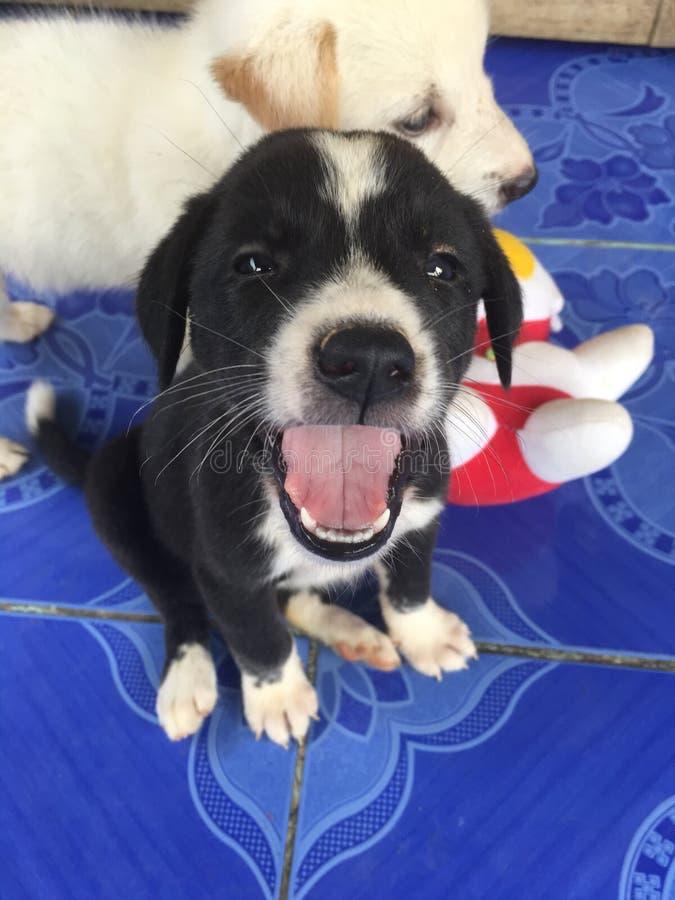 Glücklicher Welpe des Schoßhundlächelns stockfoto