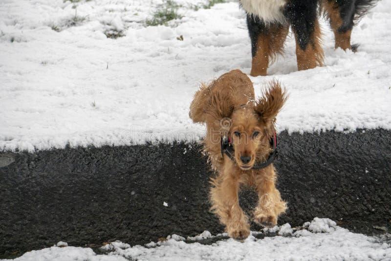 Glückliches cocker spaniel, das in den Schnee läuft stockbilder