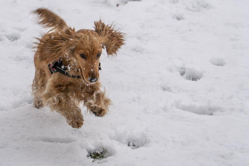 Glückliches cocker spaniel, das in den Schnee läuft lizenzfreie stockfotos