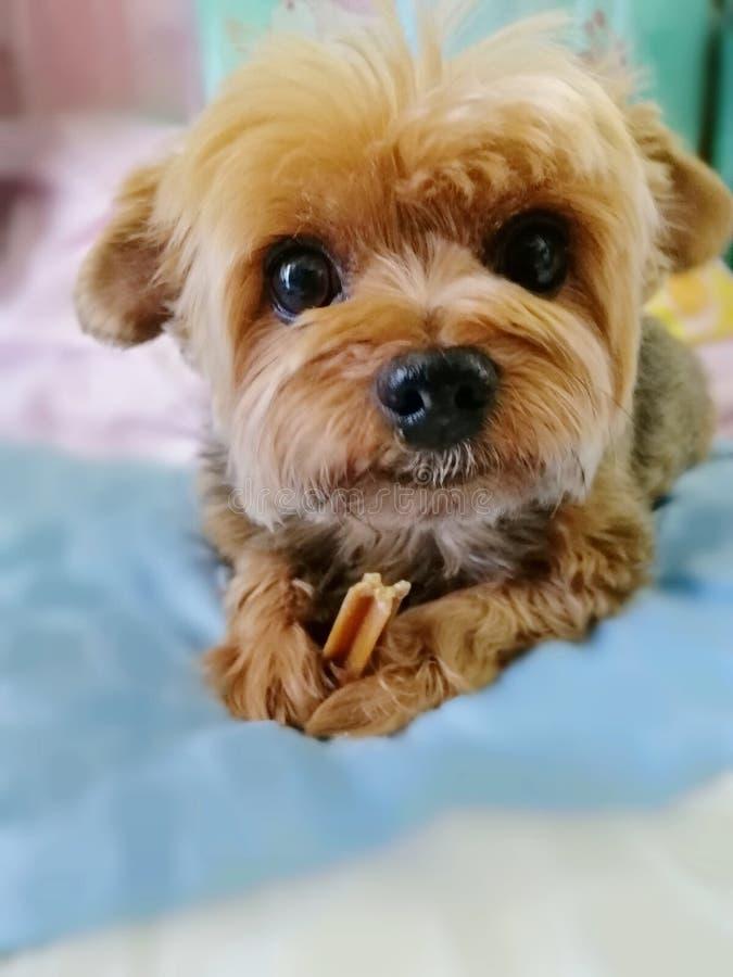 Glückliches Gesicht des Yorkshire-Terrierhundes mit Imbiss stockfotos