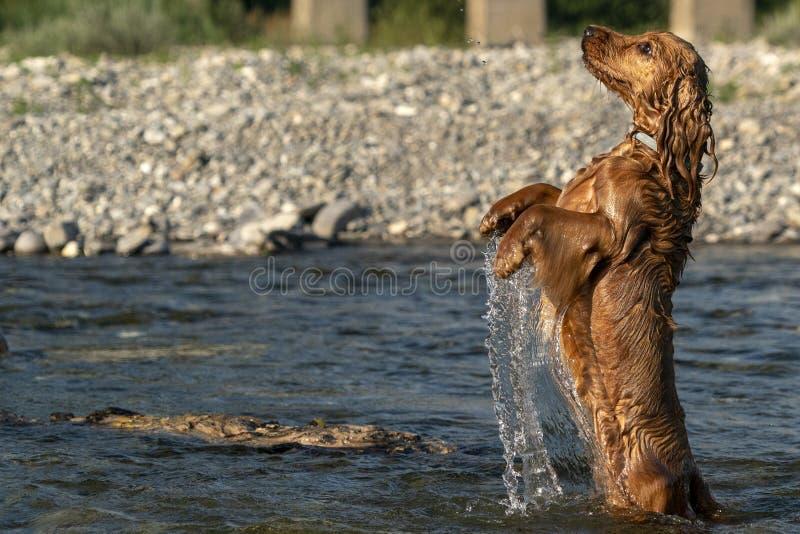 Glückliches Hündchen cocker spaniel im Fluss lizenzfreie stockfotos