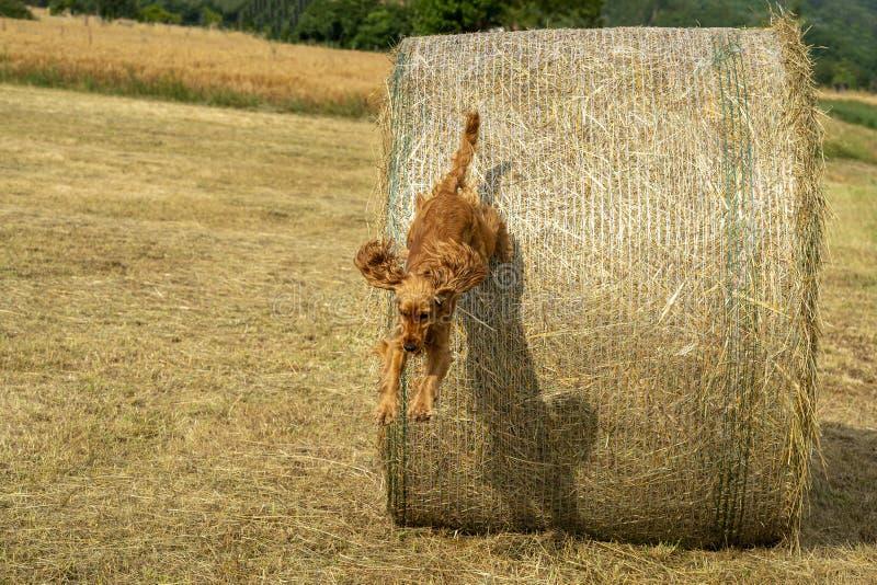 Glückliches Hündchencocker spaniel-jumpin vom Weizenball lizenzfreies stockfoto