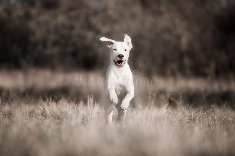 Glückliches Hund-dogo argentino schwebte in einem Sprung über dem Herbstgras stockfotos
