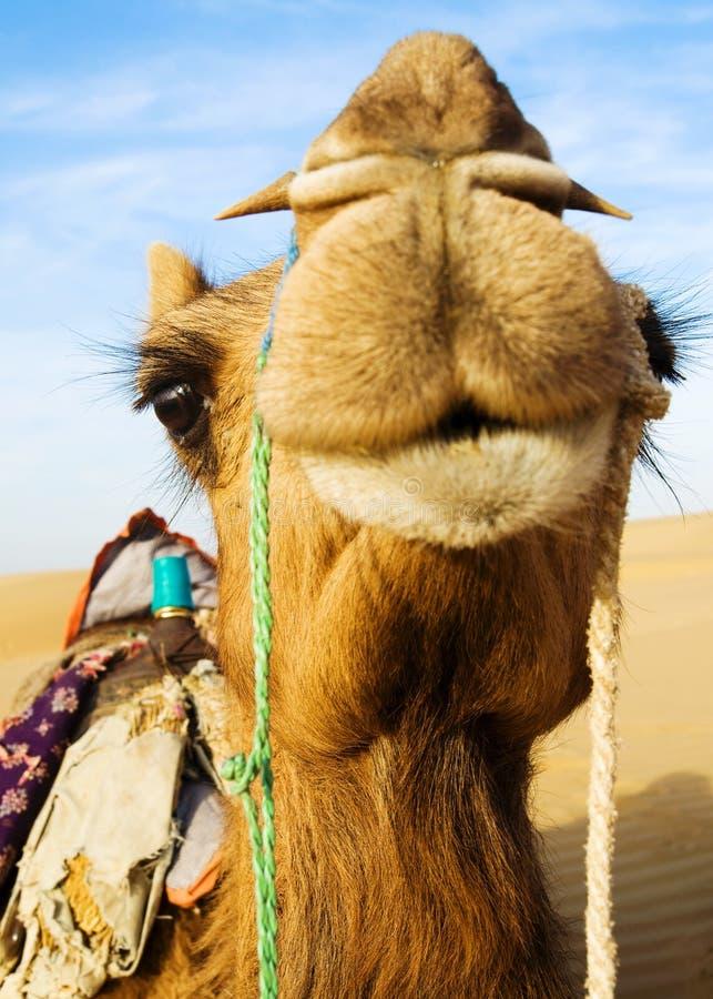 Glückliches Kamel, das in der Wüste lächelt stockfotos