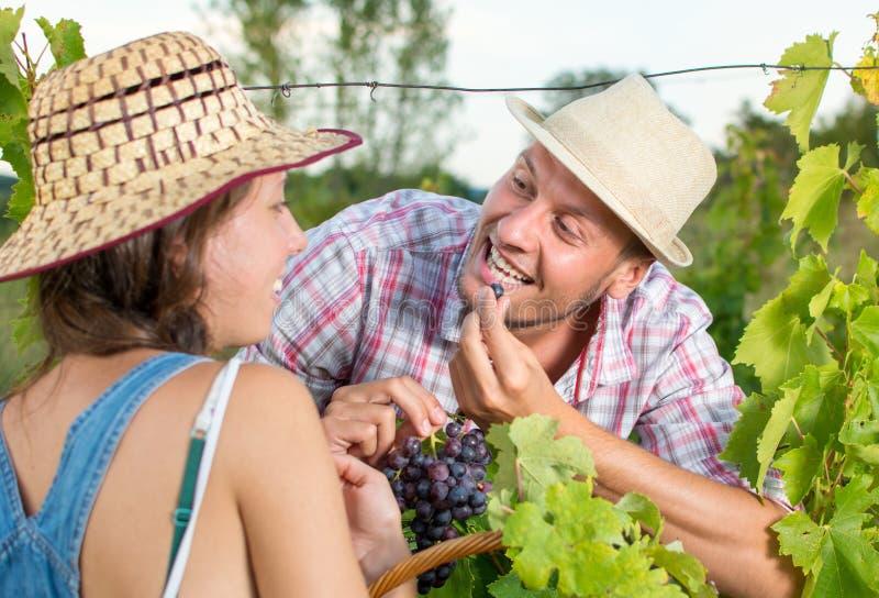 Glückliches Paar, das Trauben im Weinberg isst stockbilder