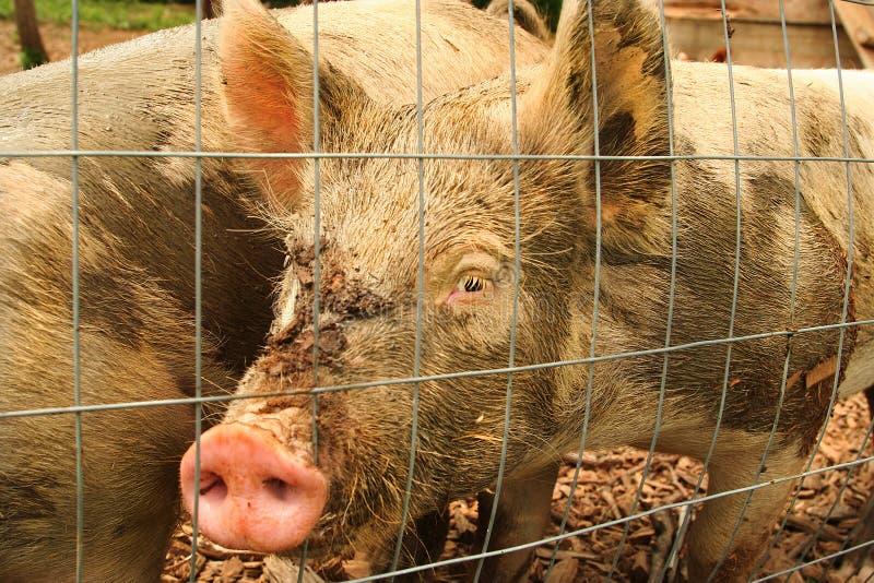 Glückliches Schwein, das aus einem eingezäunten Stift heraus schaut lizenzfreie stockfotos