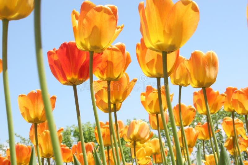 Glühende Tulpen stockfotografie