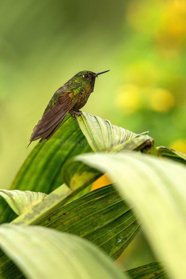 Glühendes Puffleg, das auf Blatt, Kolibri vom tropischen Regenwald, Ecuador, Vogel hockt, kleiner schöner Vogel stillsteht auf Ba lizenzfreie stockbilder
