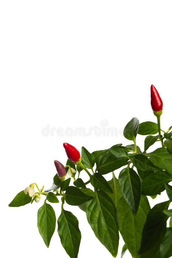 Gl?dhet peppar f?r husv?xt i blomkrukan som isoleras p? vit bakgrund fotografering för bildbyråer