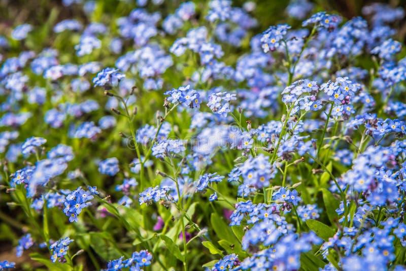 Gl?mma-mig-nots blommor royaltyfri foto