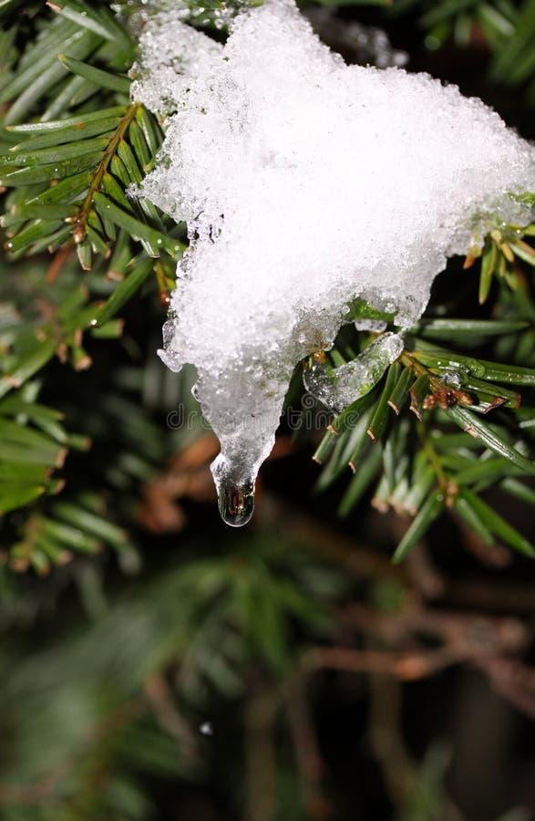Glaçon sur un arbre de pin. image libre de droits