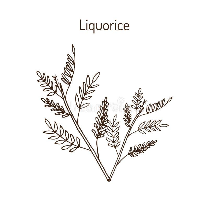 Glabra Glycyrrhiza лакрицы, лекарственное растение иллюстрация штока