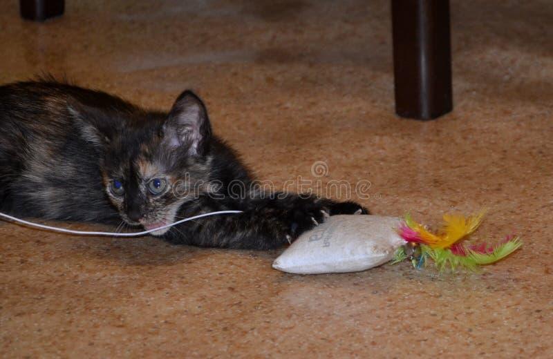 Glabro giochi in bianco e nero macchiati bello gatto a casa fotografie stock