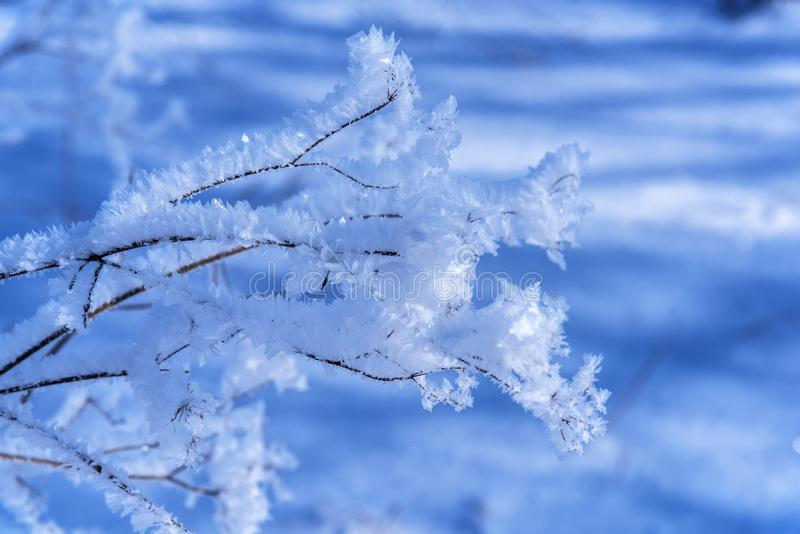 Glace de branche couverte sur le fond bleu naturel brouillé Gelée sur les fleurs sèches dans le contre-jour au jour ensoleillé Fi image libre de droits