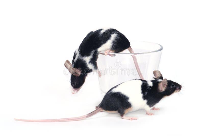 Glace? de souris photos stock