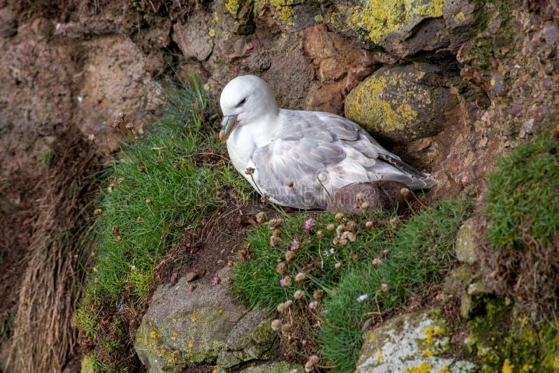 Glacialis die van noordse stormvogelfulmarus op klip het gladstrijken zitten royalty-vrije stock fotografie
