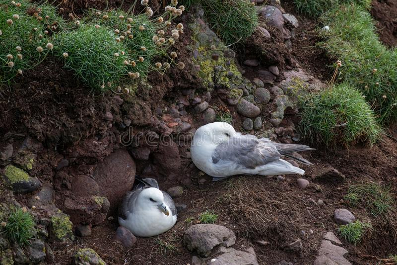 Glacialis die van noordse stormvogelfulmarus op klip het gladstrijken zitten stock fotografie