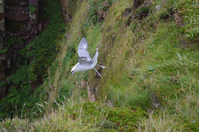 Glacialis nordici del Fulmarus della procellaria che sorvolano le scogliere del Hoy, arcipelago di Orkney, Scozia fotografie stock