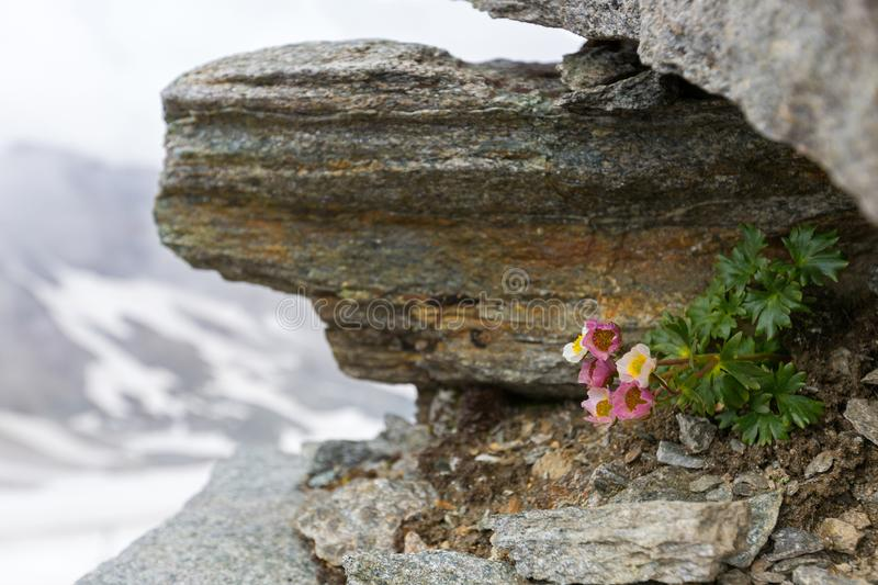 Glacier Buttercup, alpine flower in pink growing on high mountain at Stubai glacier in Tyrol, Austria royalty free stock photography