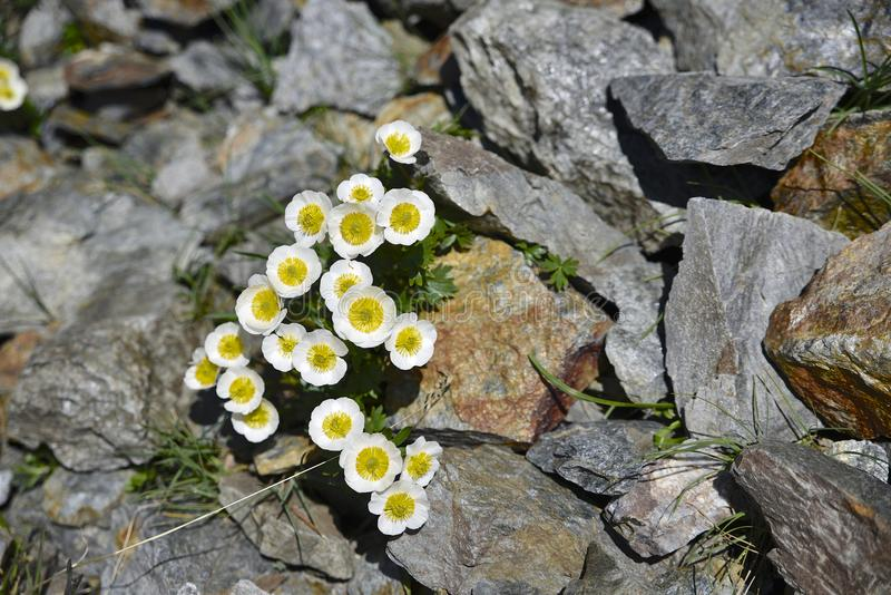 Glacier crowfoot, flower in South Tirol stock photography