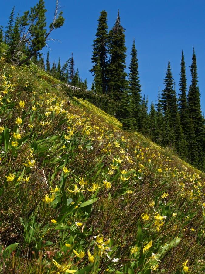 Glacier Lily Slope stock photos