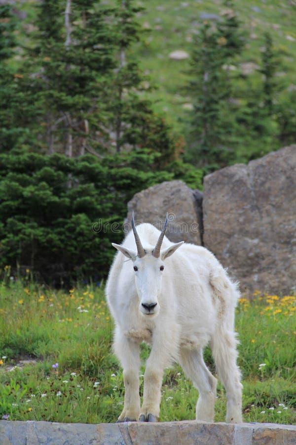 Glacier Mountain Goat stock photo