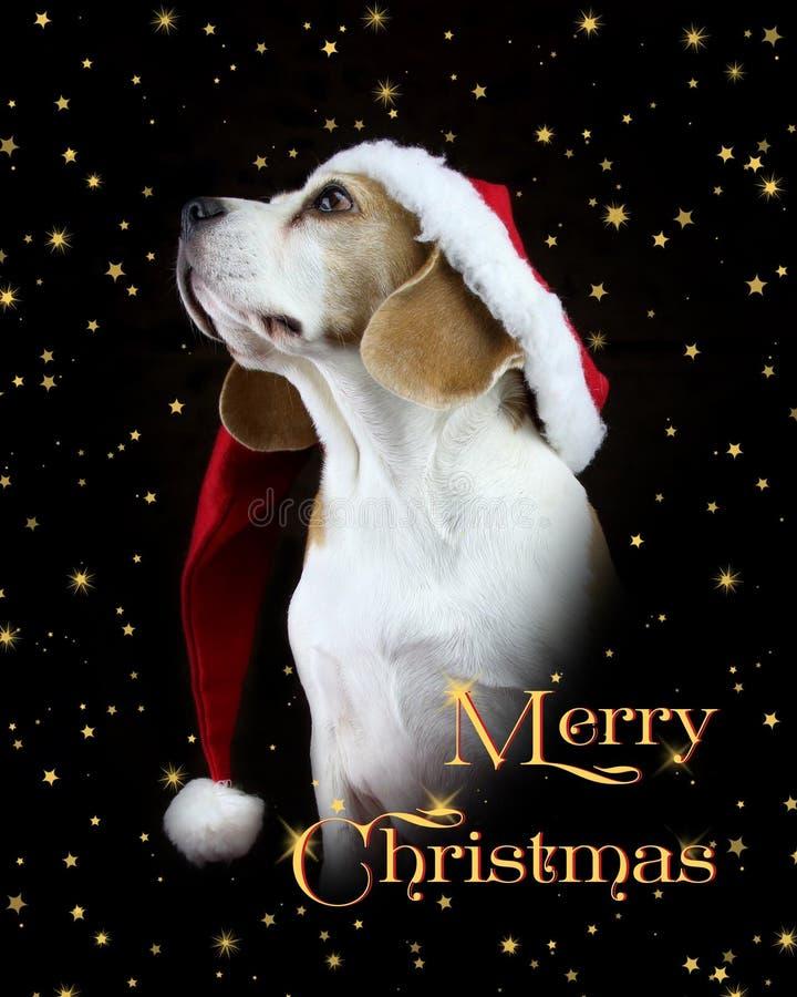 Glad julkortbeaglehund som bär en jultomtenhatt royaltyfria foton
