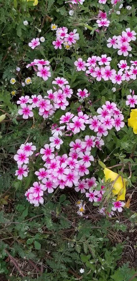 Glad kör av rosa färger royaltyfri bild