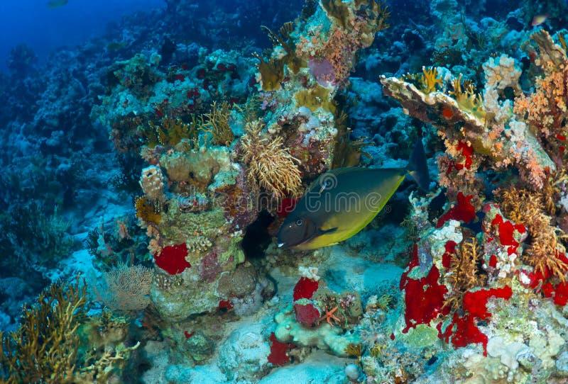 Gladde unicornfish royalty-vrije stock afbeeldingen