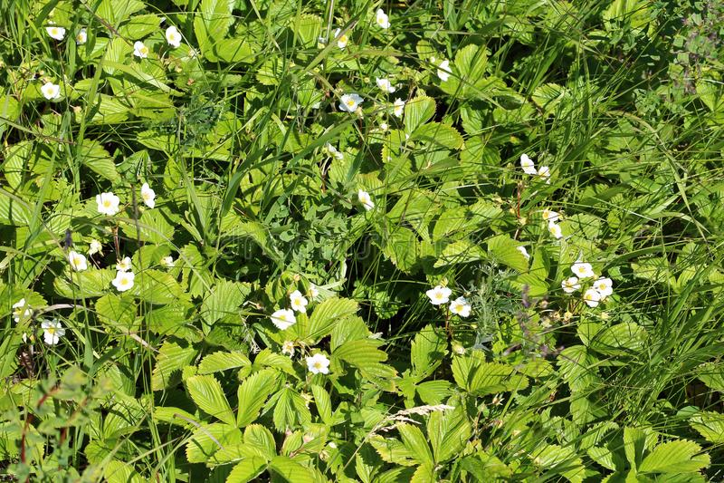 Glade леса цветя клубник, клубник весны цветя стоковое изображение rf