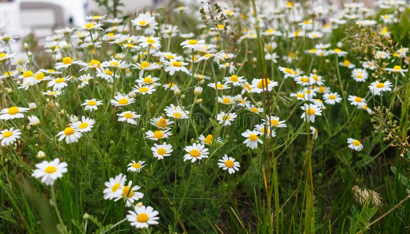 Glade of blooming daisies. Close-up. Shallow depth of field. Glade. Flowering Chamomile stock photos