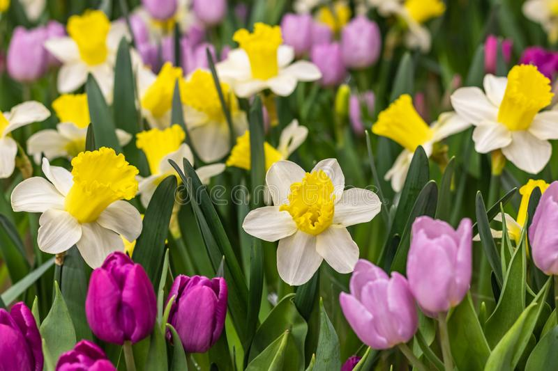 Glade of colorful tulips and daffodils. as a background stock image
