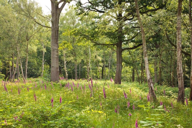 Glade da floresta fotografia de stock royalty free