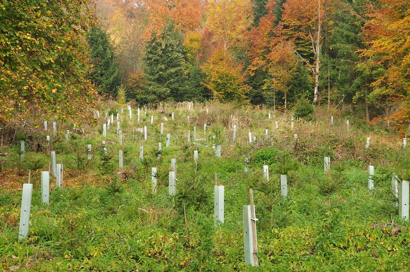 Reforestation on clearing in autumnal forest. Glade in forest with tree seedlings protected against damage caused by game royalty free stock photography