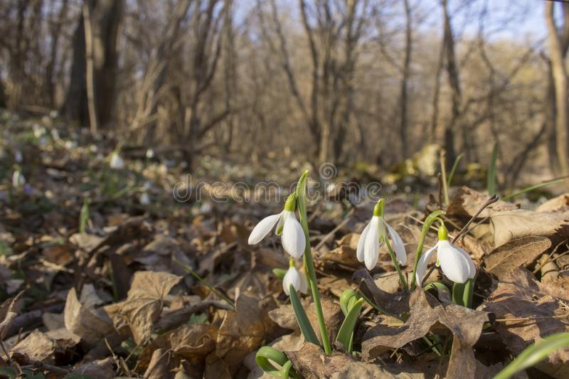 Glade full of snowdrops growing through last year`s leaves in the forest. stock photo